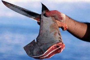 Vi cá mập xé sợi thượng hạng cao cấp